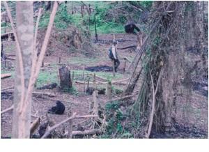 chimps wasteland
